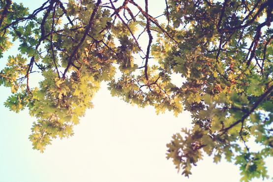 Oak tree against a blue sky
